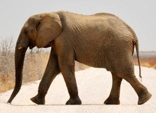 Katı basıncı yürüyen fil